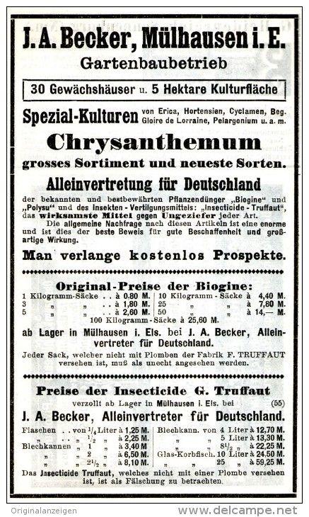 Original-Werbung/ Anzeige 1911 - CHRYSANTHEMEN / J.A. BECKER - MÜLHAUSEN IM ELSASS  - ca. 80 x 175 mm