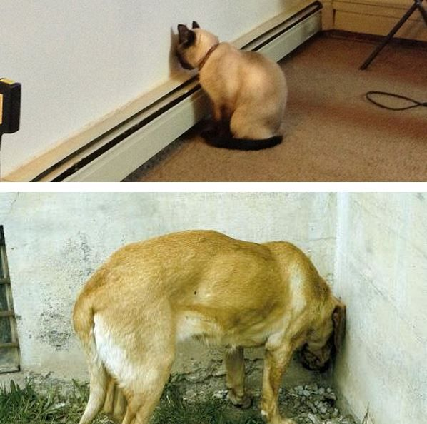 Headpressing --  If you see your dog or cat doing this you should take them immediately to the vet...read the article.