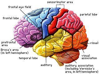 brain lobe diagram labeled - Google Search