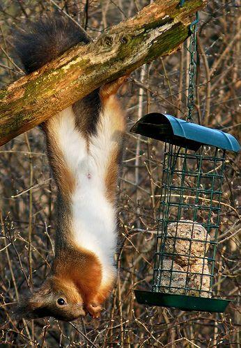 Upside down Red Squirrel - stealing bird food.