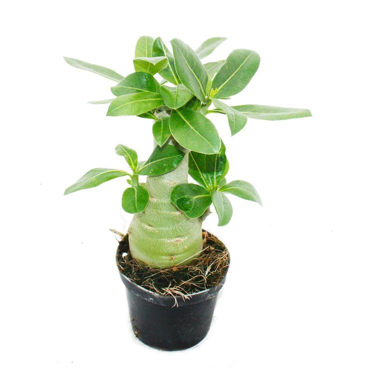 Kleine Wüstenrose, Adenium, Überraschungsfarbe, 9cm Topf