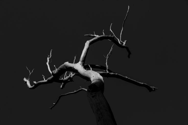 Eucalyptus tree in Blue Mountains - photo by Catalin Anastase