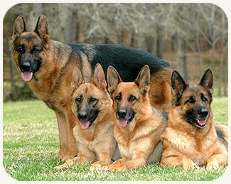 History of the German Shepherd Dog — The German Shepherd Dog was widely sought after during World War II. They were employed by Allied and Axis forces as mine detectors, sentinels, guard work, messenger, and other services. In America, Dogs for . . . (read more) http://blog.21stcenturypet.com/2013/04/history-of-the-german-shepherd-dog/ #21stcenturypet #germanshepherd