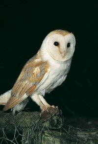 Barn Owl. Photo by Mike Brown