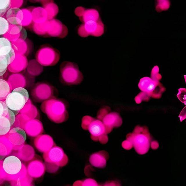 【piari_niji】さんのInstagramをピンしています。 《・ 🌸 安曇野に光の桜が咲きました 🌸 ・  朝露に濡れると花びらが透明になる、憧れの ''山荷葉(サンカヨウ)'' も浮かびます🌼 ❀…………✿…………❀…………✿ ・ #桜のトンネル #アルプスあづみの公園 #安曇野 #イルミネーション #花 #桜 #サクラ #冬の桜 #山荷葉 みたい #光の森のページェント #玉ボケ #はなまっぷ #花フレンド #花の写真館 #指が冷たい ❄ #illumination #winter  #cherryblossoms #petals #total_mytpink  #myheartinshots  #la_flowers  #ig_flowers #ig_japan  #sonyphotography》