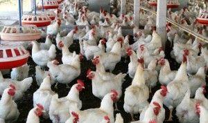 Budidaya Ternak Ayam Potong