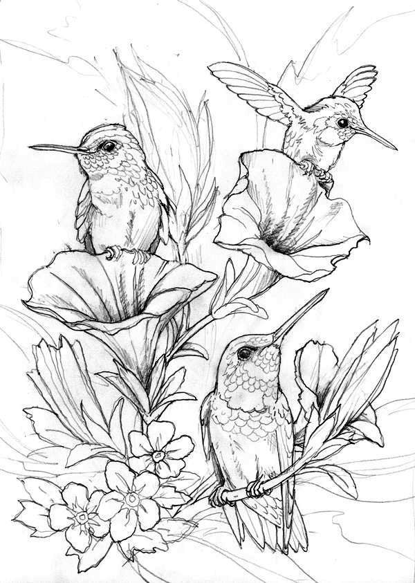 Hummingbird Coloring Pages (With Images) Bird Coloring Pages