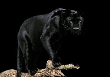 I think black panthers are absolutely breathtakingly beautiful.