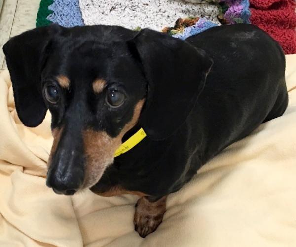 Adopt Paige On Dachshund Dog Dachshund Rescue Dogs