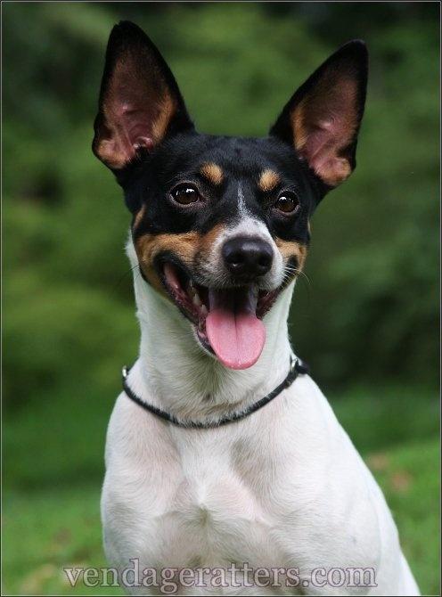 Hogan A 4 Year Old Champion Rat Terrier Http Facebook