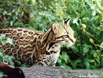 pictures of understory | Rare ocelot found in Arizona backyard | Good Nature