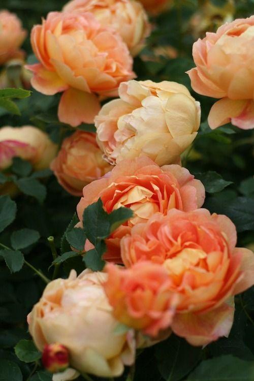 The Lady of Shalott - English Rose