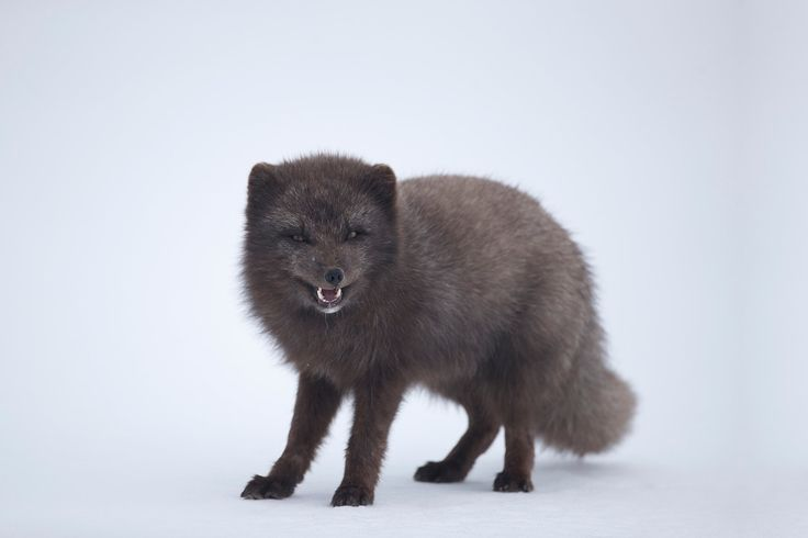 Arctic fox. - Blue phase arctic fox smiling for the camera in Hornstrandir Nature Reserve.