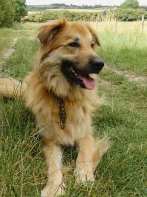Shepherd/Collie mix... maybe Esme will look something like this!