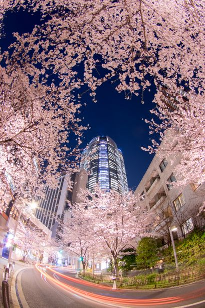 Cherry Blossom, Tokyo, Japan via GANREF | 六本木さくら坂 Cherry Blossom