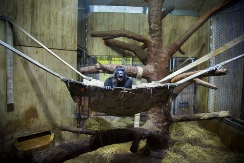 Captive by Gaston Lacombe - animals in zoos