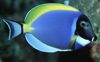 Surgeonfish: Tang Fish, Hippo Tangs, Yellow Tangs, other Surgeons - Aquatic Connection