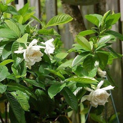 50+ Gardenia Cape Jasmine Bush Seeds , Under The Sun Seeds