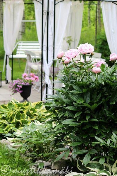 paviljonki,piha,kukat,kukkia,pionit
