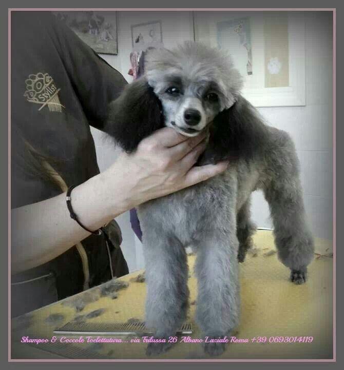 Indecisa G del Alberigo- Briciola Puppy poodle toy Groomer Suè Fernandez