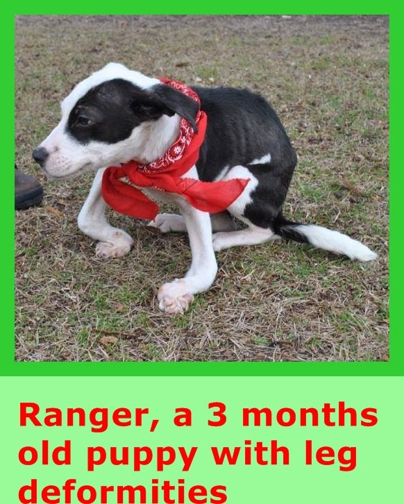 Ranger is a sweet 3-month old lab mix boy ,picked up as a stray and brought into the Walter M. Crowe Animal Shelter in Camden, SC. He has some serious medical needs which may be a result of rickets. He hasn't let the deformities slow him down or prevent him from giving lots of love. Rescues may contact the shelter at (803) 425-6016 https://www.facebook.com/photo.php?fbid=1585312211700576&set=pb.100006654361273.-2207520000.1422208123.&type=3&theater