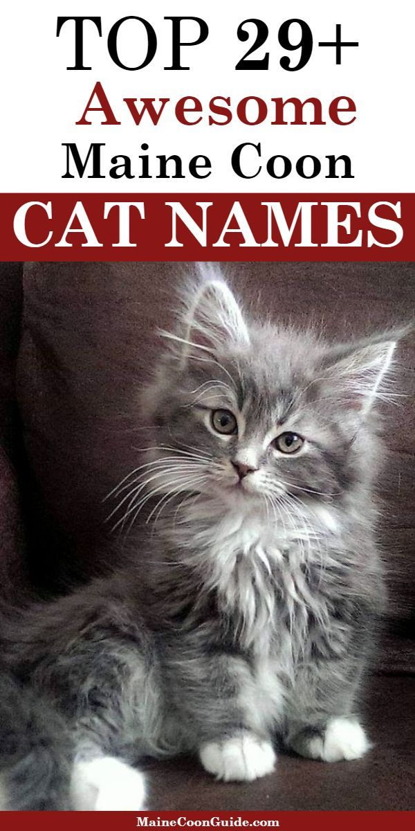 Pin On Maine Coon Cat Names