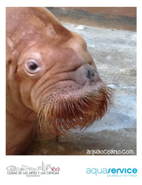 ¡Nos apasiona la vida en el agua! Aquaservice apadrina las morsas del Oceanogràfic: www.aquaoceano.com #walrus