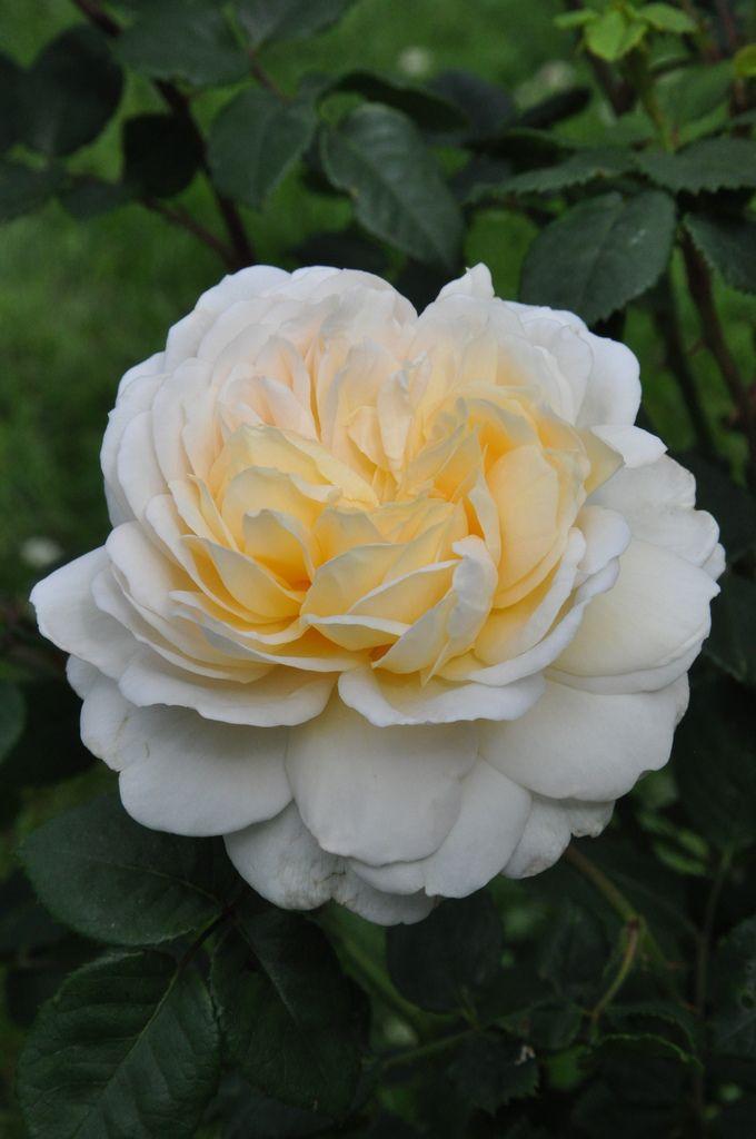'Crocus Rose' |  Shrub.  English Rose Collection.  Bred by David C. H. Austin (United Kingdom, 2000). | Flickr - © Mimmi Elg