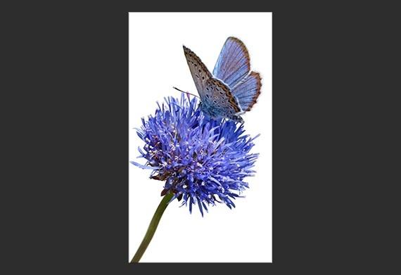 Stampa su Tela 'Farfalla sul fiore'