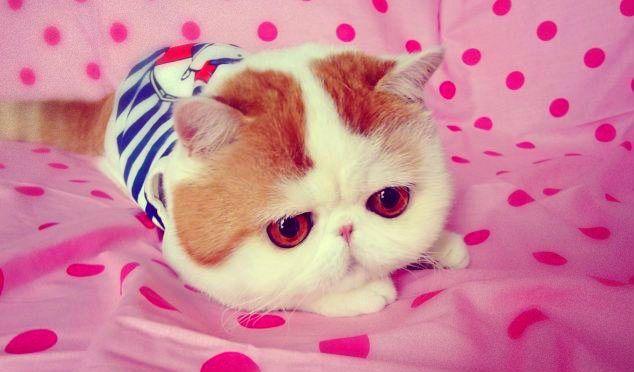 Ha solo 2 anni ma ha più di 275mila seguaci, Snoopy, il simpatico gatto che spopola su Weibo, la versione cinese di Twitter.http://tuttacronaca.wordpress.com/2013/10/09/quando-lanimale-diventa-social-snoopy/
