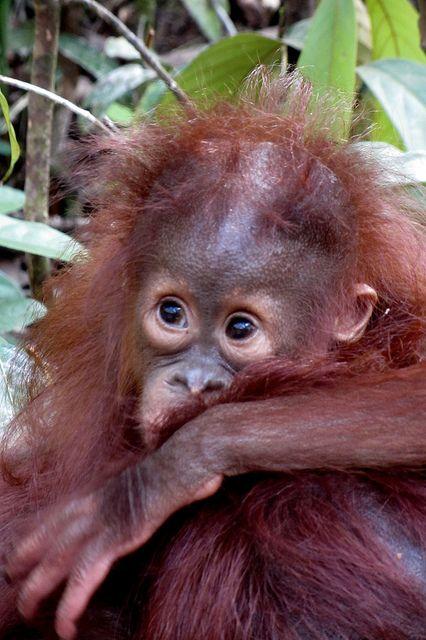Orang Utan from Kalimantan (Borneo), Indonesia