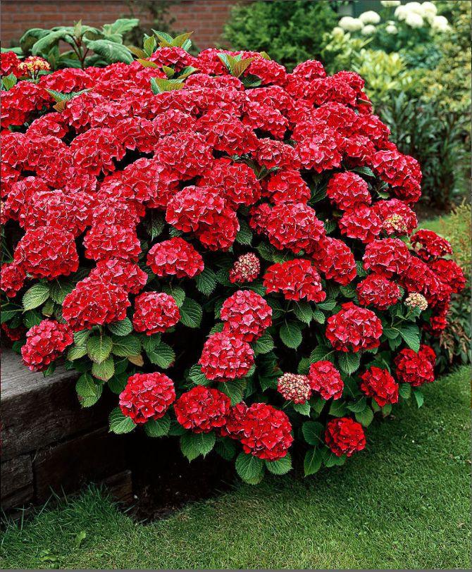 #ortensia #fireworks #flowers #fiori #summer #estate #red #rosso