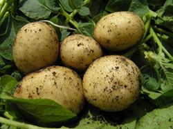 Wer seine Kartoffelernte vorverlegen möchte, der kann die Kartoffeln auch vorkeimen. Wie und wann man das macht erfahren Sie hier.   Ertrag um 20 Prozent steigern Wer seine Kartoffeln vorverlegen möchte und sie vorkeimt, der wird seinen Ertrag um bis zu 20 Prozent steigern können, denn Kälte macht den Kartoffeln nichts aus. Sie wachsen dennoch weiter. Wenn Sie Ihre Kartoffeln vorkeimen möch ...