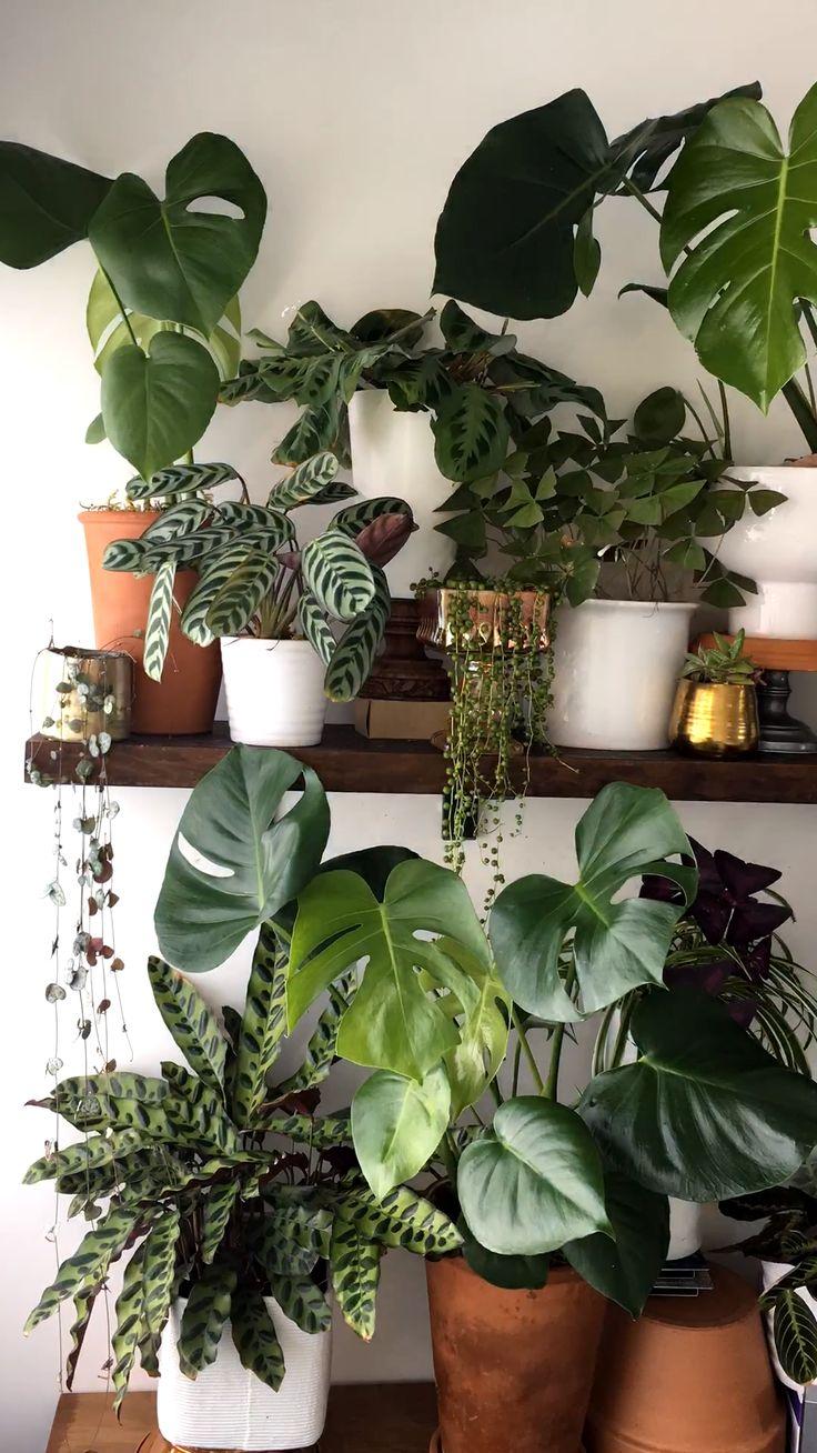 Houseplant video of monstera plant unfurling new leaves