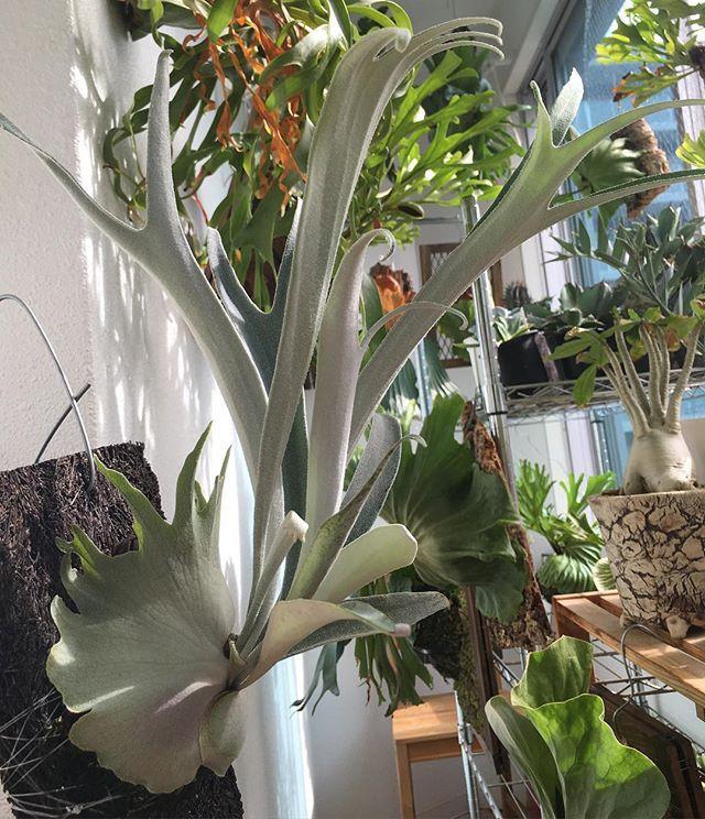 #ビカクシダ#cv.auburn river #コウモリラン #platycerium # #staghornferns #麋角羊歯 #鹿角蕨 #polypodiaceae #epiphyte #fern #green #plant #plants #植物 #観葉植物 #着生植物 #ボタニカル #園芸 #comolebi