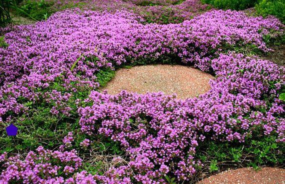 Kriechende Thymian Bulk Pack Bodendecker, 4000 Samen, duftende Kräuter, rosa Blüten, Zonen 4 bis 9, Sonne oder Licht Schatten, Deerproof, Thymus serpyllum                                                                                                                                                                                 Mehr