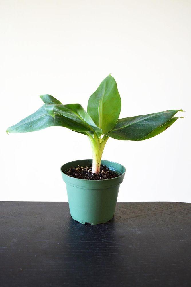 """Truly Tiny - Tiny Musa Banana Tree - 4"""" Pot - Great Fruit Stay Small Hardy Fresh"""
