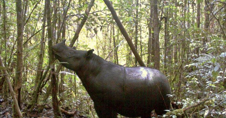 sete rinocerontes de Sumatra foram filmados por câmeras escondidas num Parque Nacional da Indonésia, onde se temia que esta espécie estivesse extinta