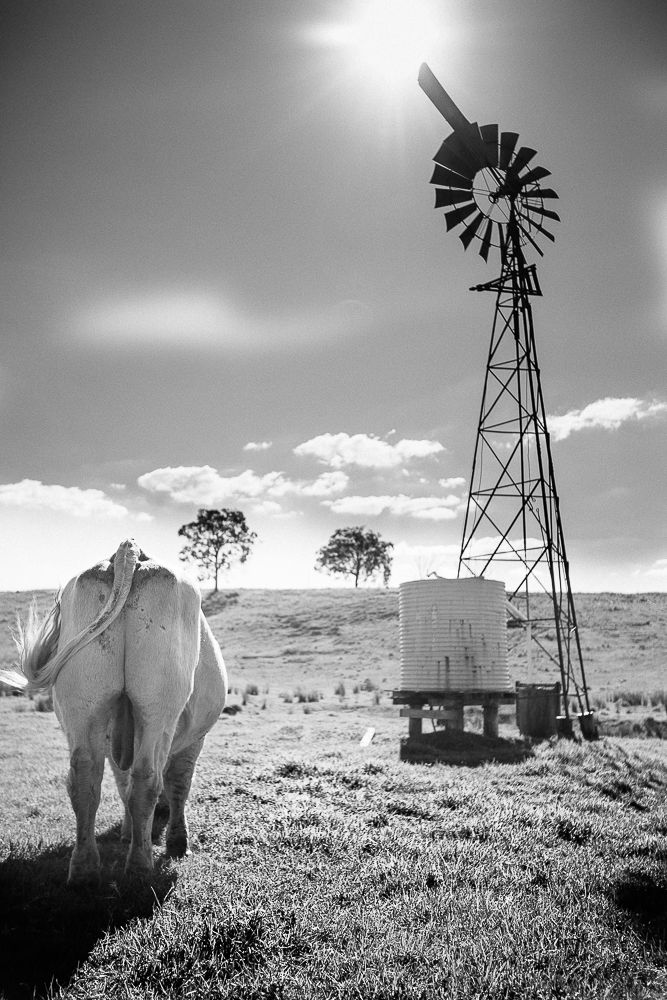 Queenslander - big bull with big balls (and water wind mill)