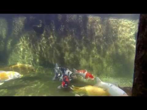 Koi Pond - underwater - YouTube