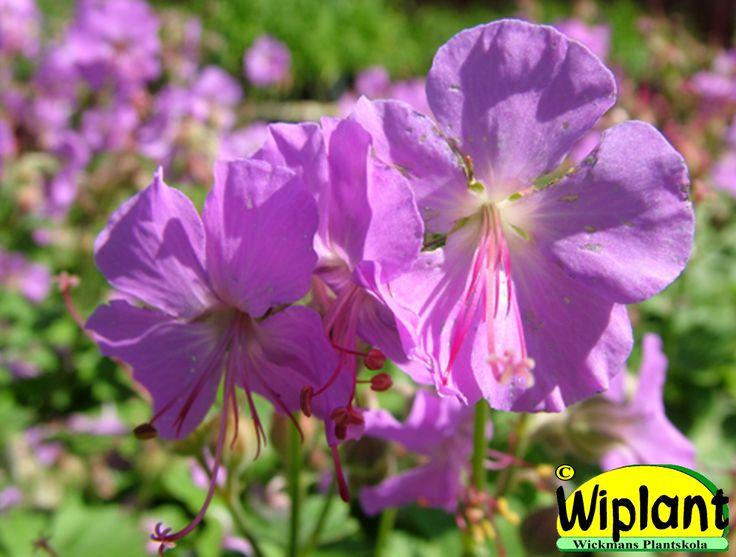 Geranium x cant. 'Cambridge', Rödbladig flocknäva. Lila blommor i juni-juli. Läge: sol-halvskugga. Vintergrön. Höjd: 0,2 m.