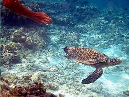amazing honeymoon on gili trawangan lombok turtle chasing