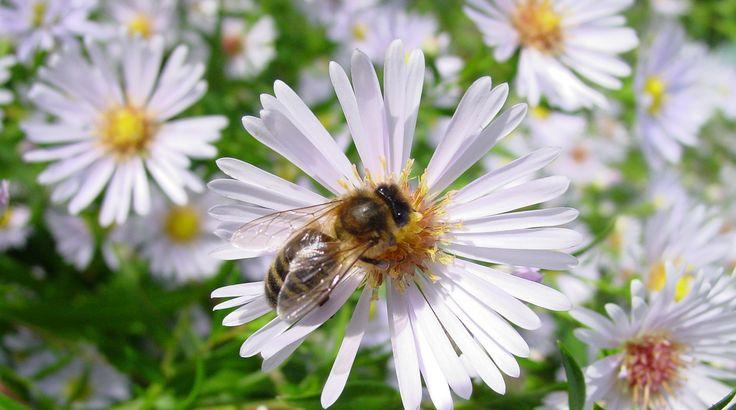 Die heimische Dunkle Biene muss unterstützt werden, ansonsten verschwindet sie in der Schweiz gänzlich. Der Erhalt wird gefördert durch gezielte Zucht, durch Schutzgebiete und durch zahlreiche Imker, welche Dunkle Bienen halten.Unser Projekt hat zum ...