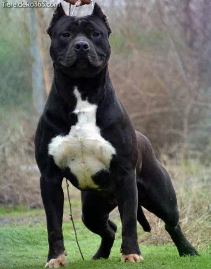 Fantastische Besten Bilder Von Schwarzen Pitbull Pitbull Terrier Pitbulls Bully Breeds Dogs