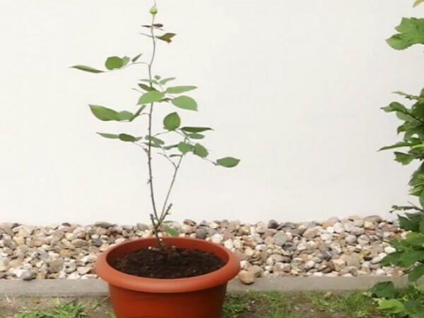 Vyberte si růži, kterou chcete zasadit. Odstraňte z ní všechny listy, odřízněte pupen/květ a část stonku, přibližně 3 cm. Proveďte řez na stonku růže pod úhlem 45 stupňů. Vezměte si bramboru a pomocí šroubováku v něm udělejte otvor s takovou velikostí, aby se do něj vešel stonek růže. Otvor by měl být menší, aby v …