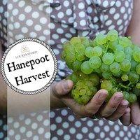 Hanepoot Harvest in Stellenbosch
