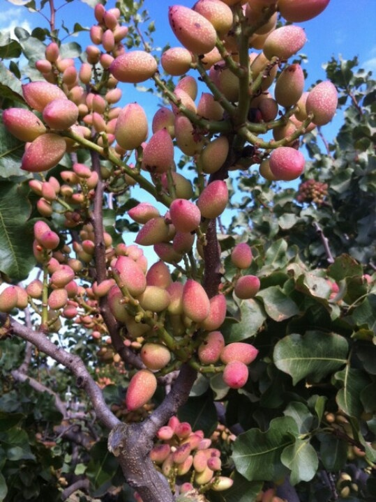 This is how those delicious pistachio nuts look 'au naturel' before the harvest and roasting.  Pistachio Fruit Tree