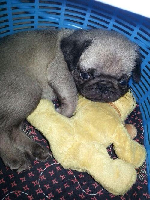 cutepugpics:  Little puglet is already an expert snuggler!