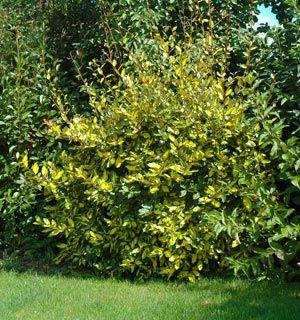 Elaeagnus ebbingei Limelight (persistant)