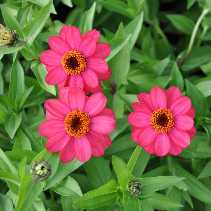 MARYLANDZINNIA 'Zahara Coral Rose' i gruppen Frönyheter 2014 / Ettåriga Blomsterväxter hos Impecta Fröhandel (88461)